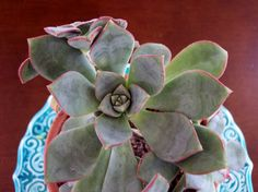 I believe this is an Echeveria.  I love the subtle scallops on the leaves.