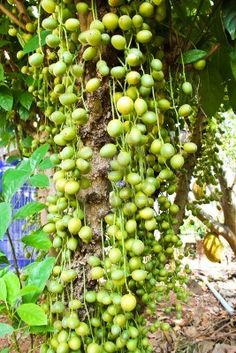 Burmese Grape tree
