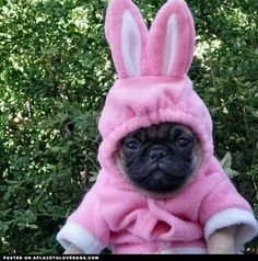 Funny pictures about Bunny Pug Is Not Amused. Oh, and cool pics about Bunny Pug Is Not Amused. Also, Bunny Pug Is Not Amused photos. Baby Animals, Funny Animals, Cute Animals, Raza Pug, Amor Pug, Rabbit Costume, Bunny Costume, Pug Love, Easter Bunny