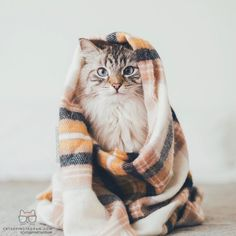 From @monicasisson: Im all wrapped up and cozy for fall!  (See more of Finnegan his half-sister Alice and his puppy baby-brother Oliver on @pitterpatterfurryfeet). #catsofinstagram [source: http://ift.tt/2dMOWmY ]