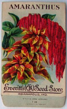 EVERITT'S SEED STORE,  Amaranthus F15, Vintage Seed Packet
