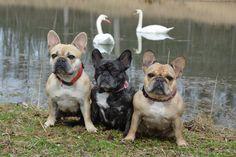 Fotka uživatele Linda Hradilová. French Bulldogs and Swans