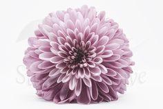 Printable Pink Chrysanthemum, Botanical Photography #art #print #digital #pink #white #flowers #vertical #printable #chrysanthemum #etsy Poster Size Prints, Art Prints, Chrysanthemum Flower, International Paper Sizes, Nature Photography, Flower Photography, Drawing, Printing Services, Tattoos