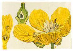 Sarah Graham, artist, botanical works on paper, 2008 to present. Botanical Drawings, Botanical Illustration, Botanical Prints, Illustration Art, Floral Prints, Sarah Graham Artist, Watercolor Flowers, Watercolor Art, Conceptual Drawing