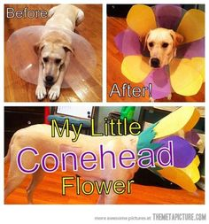 Sad dog or hilarious opportunity? Make the cone-of-shame even funnier! Funny Cute, The Funny, Hilarious, Funny Dogs, Funny Animals, Cute Animals, Dog Cone, Smile Photo, Dog Halloween