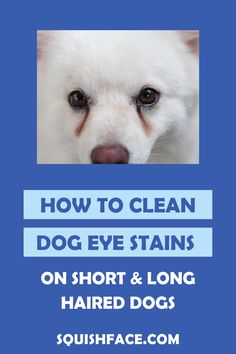 If you struggle with how to clean eye stains on dogs, this is the post for you! Learn the tricks for easy dog tear stain removal, including white dog eye stains, for great Pomeranian eye care, Poodle eye care, Shih Tzu care, and say goodbye to long hair dog grooming dilemmas. If you do your dog grooming at home or are a professional dog groomer, this is a must read to learn dog tear stain remedies for a clean dog face. | Squishface Dog Care Products Puppy Care, Dog Care, Tear Stain Removal, Dog Tear Stains, Dog Skin Allergies, Wrinkly Dog, Dog Hot Spots, Itchy Dog, Dog Grooming Tips