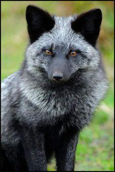 arctic fox- silver/grey fur