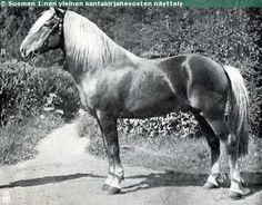 Alarik, one of the old legendary Finnhorse stallions, Different Horse Breeds, Pony Breeds, Fjord Horse, Draft Horses, Gentle Giant, Equine Art, Donkeys, Vintage Pictures, Beautiful Horses