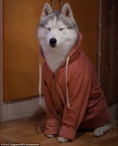 Coffee first, then we'll talk: A husky dressed in a hoodie looks less than pleased about early mornings