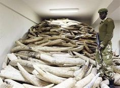 US-Funded African Armies Slaughtering Elephants    A Kenya Wildlife Service warden stands in a storage room holding seized elephant ivory.