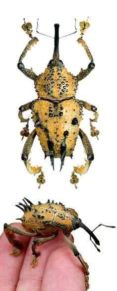 Ozopherus muricatus