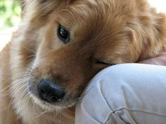 For a dog, having a knee is just as good as having a shoulder to cry on ... they are not particular.