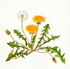 Wildflowers in Korea – Flowers Flowers Vintage Botanical Prints, Botanical Drawings, Botanical Art, Dandelion Drawing, Dandelion Flower, Watercolor Flowers, Watercolor Art, Flower Doodles, Illustration Artists