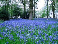 Bluebells in England