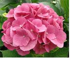 Plants: How to Guide: To Change My Hydrangea Flower Color