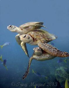 Sea Turtles, Great Barrier Reef.