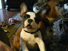 My French Bulldog....Marley
