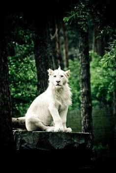 White lion・