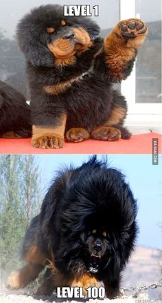 Majestic Tibetan Mastiff is part of Funny animal pictures - More memes, funny videos and pics on Funny Animal Memes, Funny Animal Pictures, Funny Dogs, Funny Animals, Hilarious Quotes, Cute Baby Animals, Animals And Pets, Dogue Du Tibet, Cute Puppies