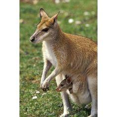 Kangaroo & Baby - Lantern Press Photography (Acrylic Serving Tray)