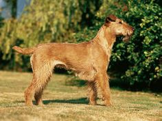 Chien Irish Terrier
