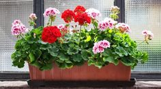 Geranium: A Beginner's Guide to Growing Geraniums Indoors Growing Geraniums, Enchanted Garden, Ficus, Garden Pots, Feng Shui, Indoor Plants, Bonsai, Gardening Tips, Floral Wreath