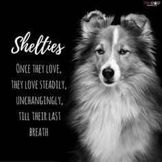 The Shetland Sheepdog originated in the and its ancestors were from Scotland, which worked as herding dogs. These early dogs were fairly Sheep Dog Puppy, Dog Cat, Sheep Dogs, Dog Dna Test, Shetland Sheepdog Puppies, Herding Dogs, Sheltie, Dog Quotes, Dogs And Puppies