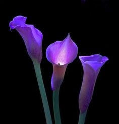 Purple Calla Lilies Photo:  This Photo was uploaded by cantellay. Find other Purple Calla Lilies pictures and photos or upload your own with Photobucket ...