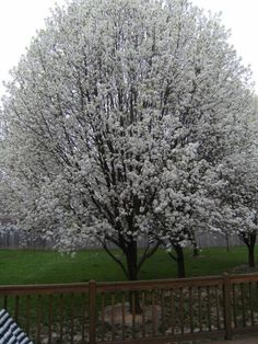 Bradford Pear tree in bloom - be advised these are subject to breakage and have a relavtively short life span.