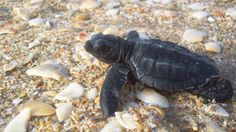 A newborn Kemp's ridley sea turtle hatchling crawls across shells on its way to the Gulf of Mexico. Padre Island National Seashore. NPS photo.