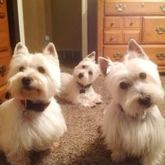 Westies look good with other westies. | 25 Photos To Prove That The Westie Is King Of Instagram