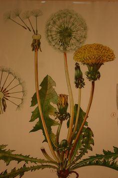 Vintage Scientific Botanical Dandelion Print by RedWalrusShoppe