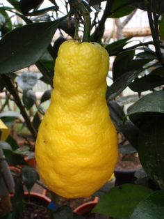 Citrangequat is a cross between a citrange and a kumquat