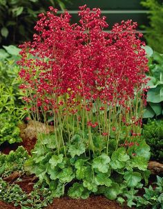 Firefly Coral Bells (Heuchera sanguinea Firefly) is a western wildflower that has been bred and improved to give us one of our most popular garden perennials. The bright red flowers are held high on long thin wands over the tidy mound Coral Bells Plant, Coral Bells Heuchera, Dry Shade Plants, Water Plants, High Country Gardens, Hummingbird Plants, Xeriscaping, Unique Plants, Flowers Perennials