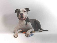 Meet ROCCO, a Petfinder adoptable Staffordshire Bull Terrier Dog | San Pedro, CA | Petfinder.com is the world's largest database of adoptable pets and pet care information....