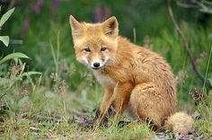 The black-tipped tail and coat color usually distinguish kit foxes from red foxes, with their white-tipped tails. Description from care2.com. I searched for this on bing.com/images