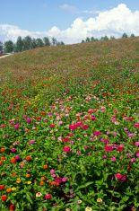Field of many zinnia flowers in Hokkaido stock photo