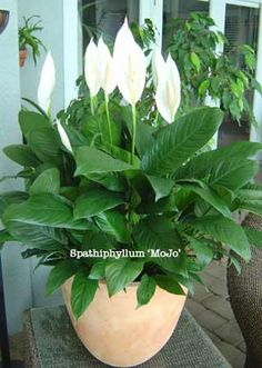 3 Reasons Why Peace Lily Plants Get Brown Tips