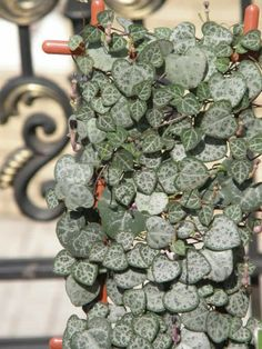 String of hearts Corações emaranhados (ceropegia woodii) I love their little heart shaped leaves
