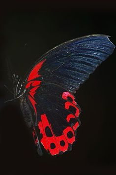 Scarlet Mormon butterfly  I love the colors and details