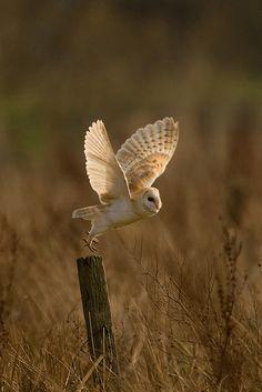 Barn Owl, photo by Nigel Pye Birds Of Prey, Pretty Birds, Beautiful Birds, Animals And Pets, Cute Animals, Owl Wings, Photo Animaliere, Felt Owls, Owl Pictures