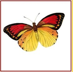 Colorful Gold Red and Black Butterfly