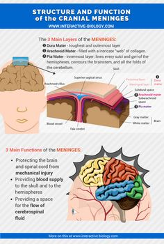 There are 3 layers of protection and support between the brain and the skull: The Dura mater, the arachnoid layer, and the pia mater. Brain Anatomy, Human Anatomy And Physiology, Medical Anatomy, Anatomy Bones, Nervous System Parts, Nervous System Anatomy, Nursing Classes, Nursing School Notes, Med Surg Nursing