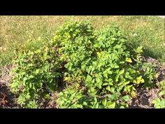 Kartoffelanbau Tonne / Flach / Hochbeet
