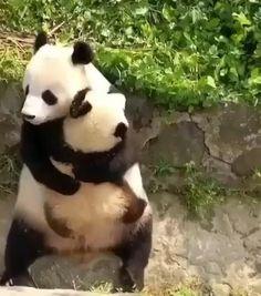 Funny Animal Videos, Cute Funny Animals, Cute Baby Animals, Animals And Pets, Baby Pandas, Giant Pandas, Cute Panda Baby, Bear Pictures, Animal Pictures