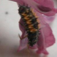 Learn to Recognize Lady Beetle (Ladybug) Nymphs: Photo of Ladybug (Lady Beetle) Nymph