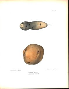 Potato Cow's Horn & Early Shaw 1849 Antique Agriculture Color Emmons Print
