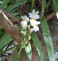 Meu pé de mini orquídea branca.