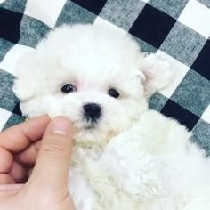 Teddy Bear Poodle, Toy Poodle Puppies, Teddy Bear Puppies, Maltese Poodle, Maltese Dogs, Teacup Maltese Puppies, Teddy Bears, Baby Maltese, Teacup Dogs
