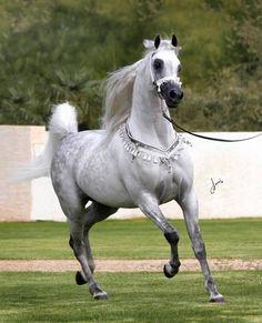 Dancing Stallion